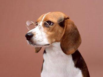 beagle-wearing-glasses