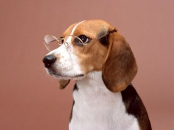 beagle-wearing-glasses